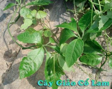 cay-giao-co-lam4