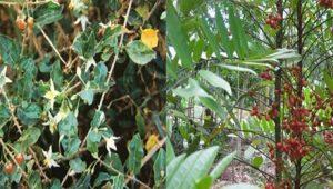 Cà gai leo kết hợp với rễ cây mật nhân