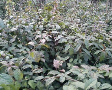 Hình ảnh cây bách giải