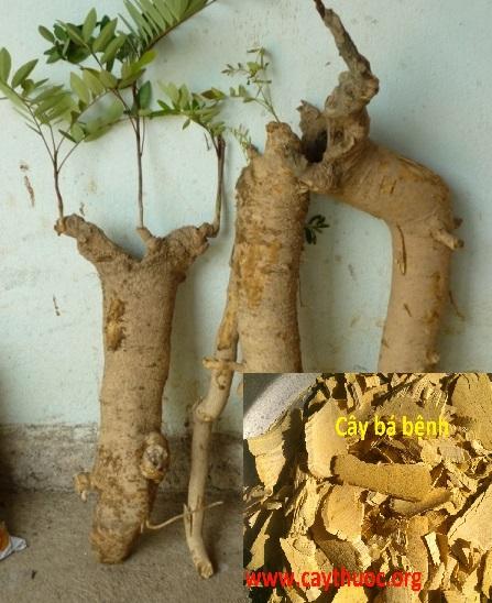 Rễ cây mật nhân tươi