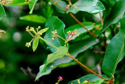 hình ảnh cây hà thủ ô trắng