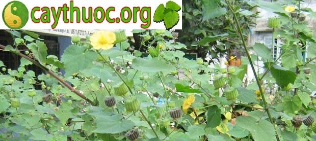 Cây cối xay điều trị bệnh trĩ