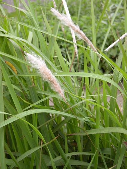 Cây cỏ tranh