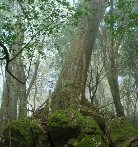 Cây lim cổ thụ trên rừng Hòa Bình