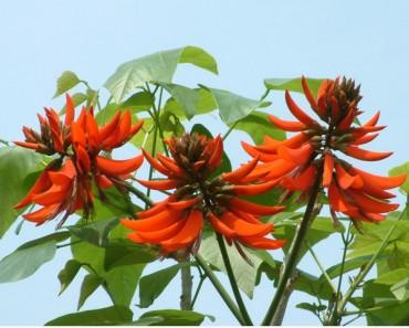 Hình ảnh hoa vông nem