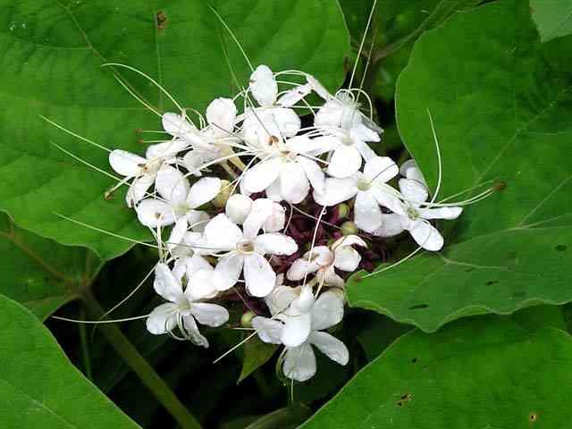 hình ảnh cây mò hoa trắng