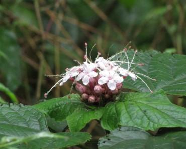 cây mò hoa trắng