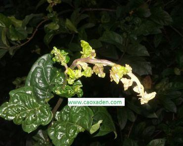 Hình ảnh lá xạ đen bị bệnh xoăn lá