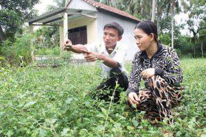 Kỹ thuật trồng cây cà gai leo
