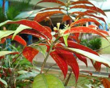 cây đơn lá đỏ