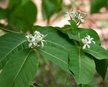 Cây mộc hoa trắng