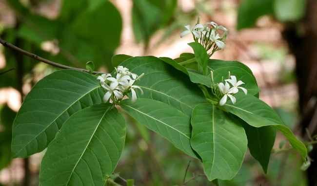 Cây mộc hoa trắng Những cây thuốc nam điều trị bệnh viêm đại tràng tốt nhất