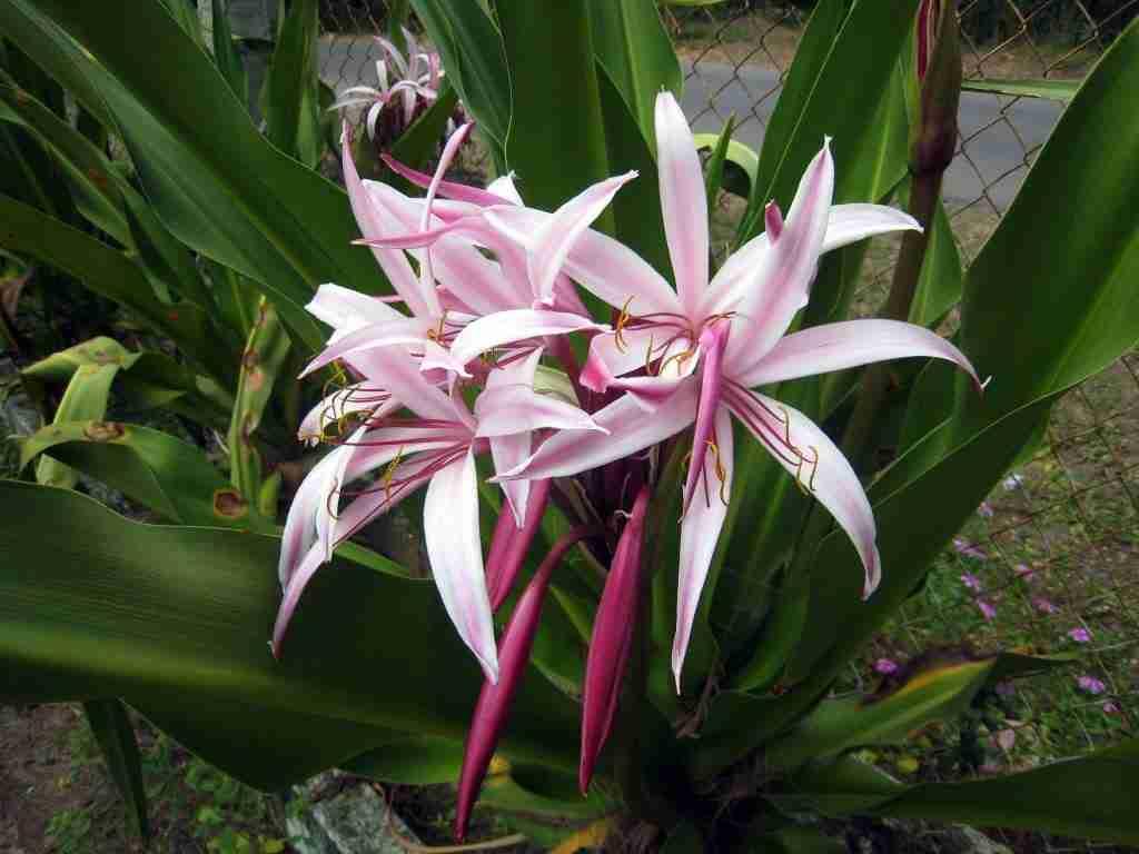hình ảnh cây náng hoa trắng