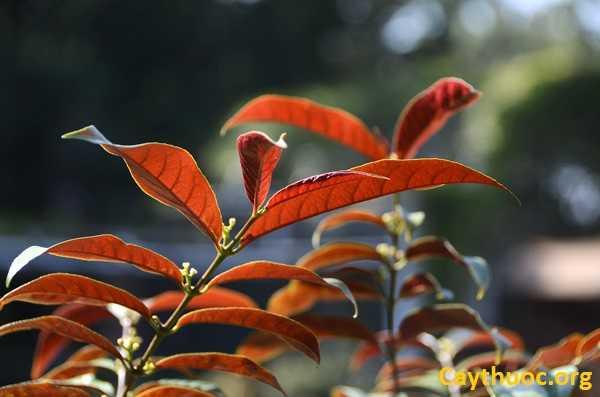 Hoa đơn lá đỏ