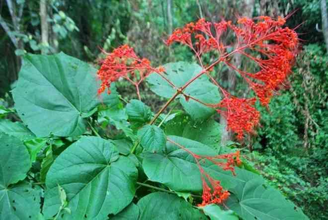 bạch đồng nam, mò hoa đỏ