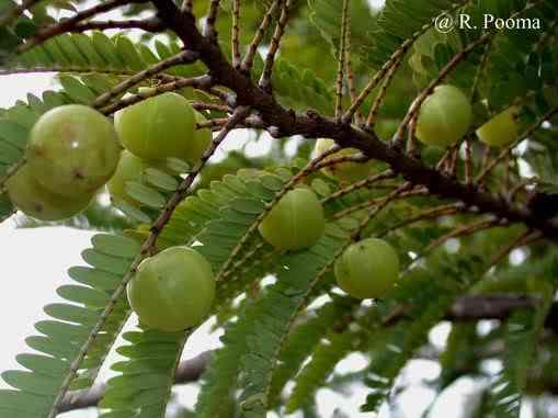 Hình ảnh cây me rừng