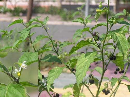 Hình ảnh cây lu lu đực