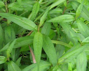 cây rau răm cây thuốc nam gây liệt dương