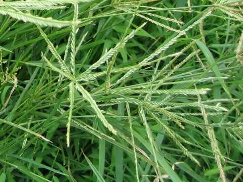 cây cỏ mần trầu