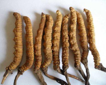 đông trùng hạ thảo tây tạng