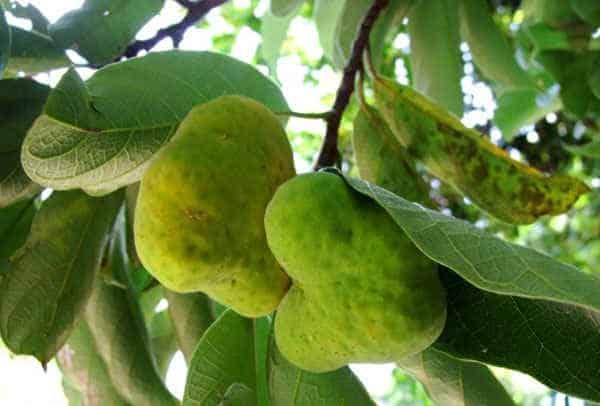 quả cây chay