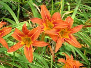 cây hoa hiên
