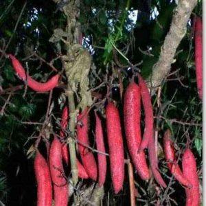 hình ảnh cây chí câu lỏ bòi vịt