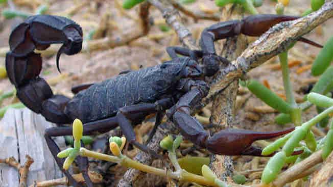 Con bọ cạp toàn yết