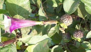 cà độc dược hoa tím