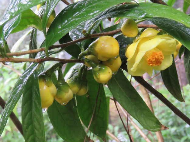 Hình ảnh nụ cây trà hoa vàng