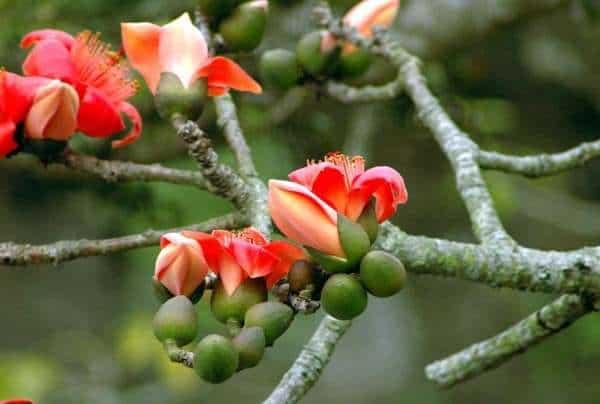 cây hoa gạo tía