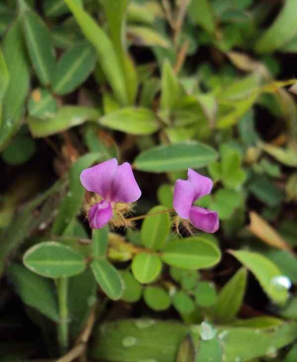 Hoa cây hàn the màu tím