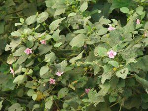 Hình ảnh: Cây Ké hoa đào.