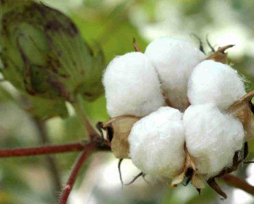 hạt bông chữa viêm da cơ địa