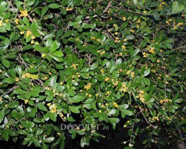 công dụng của cây duối cây ruối