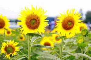 Hình ảnh: Cây hoa hướng dương.