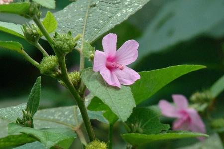 cây ké hoa đào
