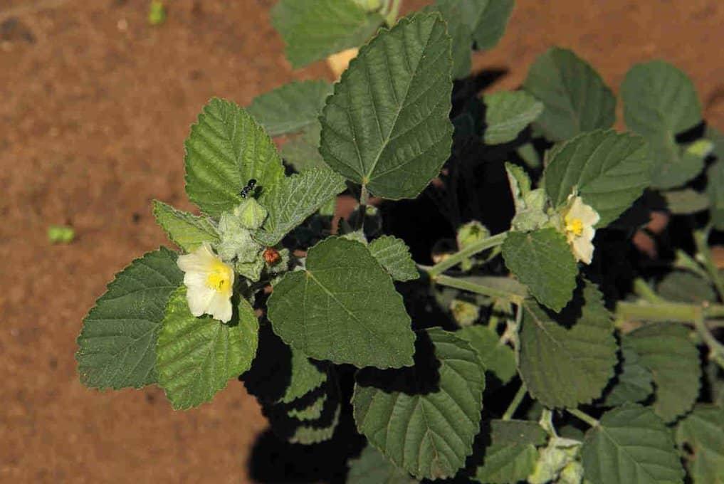 Cây ké hoa vàng sida_cordifolia_L