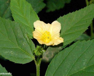 cây ké hoa vàng Sida rhombifolia L