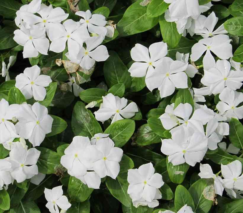 cây dừa cạn hoa trắng