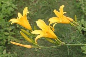 Cây hoa kim châm, cây hoa hiên