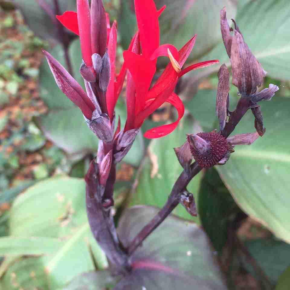 Hoa cây dong riềng đỏ