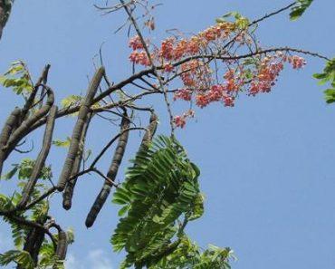 cây ô môi