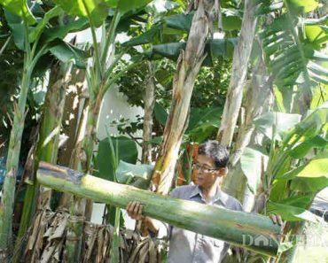công dụng của cây chuối hột rừng