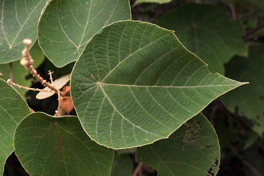 Hình ảnh cây bùng bục