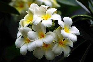Cây hoa đại trắng chữa bệnh gì