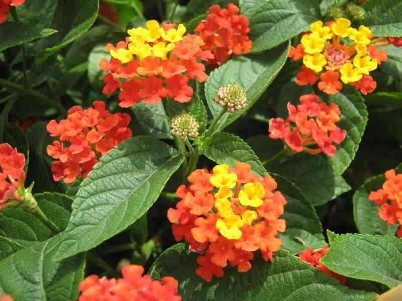 Hoa ngũ sắc Điều trị bệnh viêm mũi dị ứng