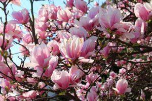 Cây hoa mộc lan hoa tím