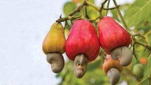 cây điều hạt điều đào lộn hột công dụng gì