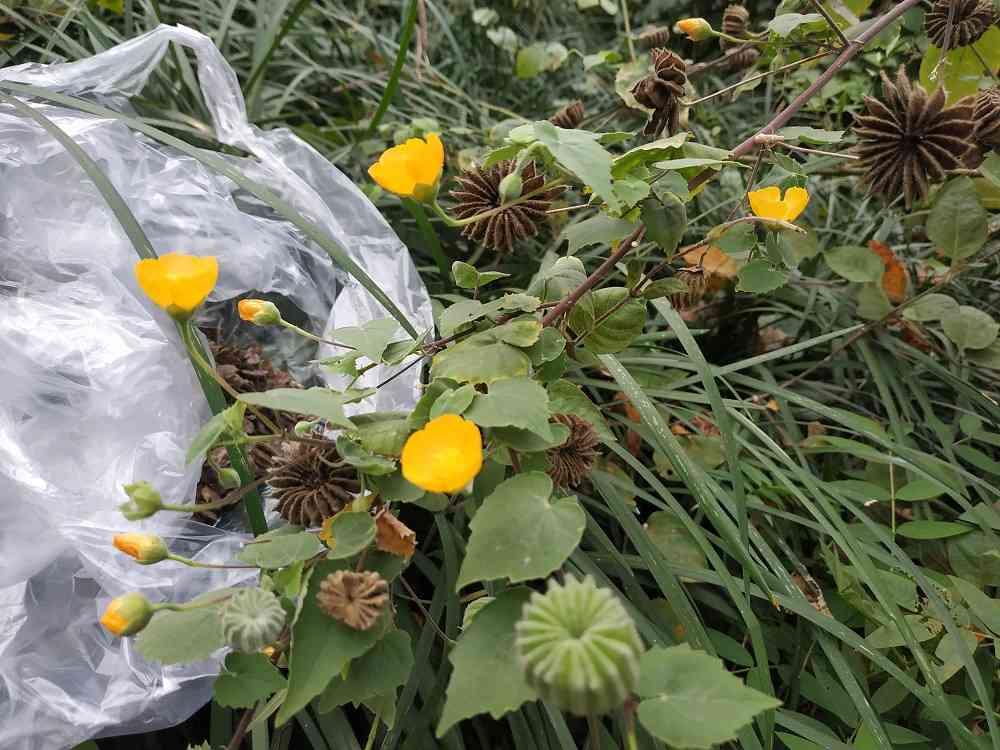 Hình ảnh quả, hoa và lá cối xay